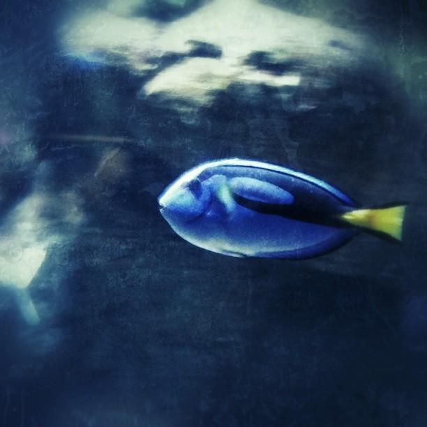 Paletten-Doktorfisch aufgenommen im Manly Sealife