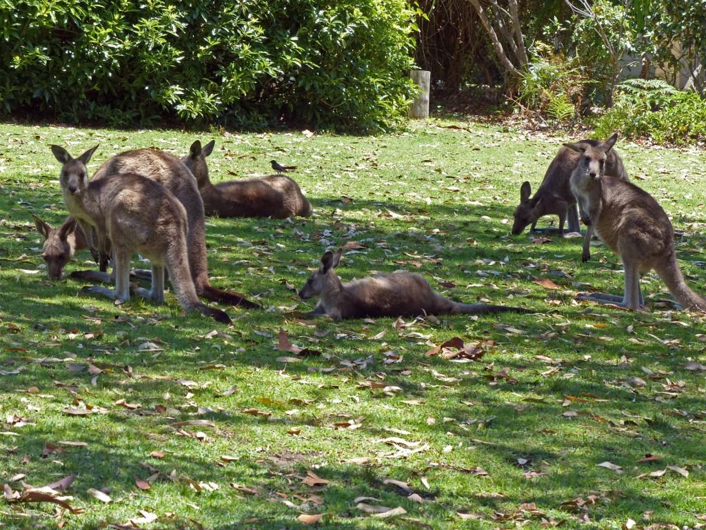 Kängurus im Gras am Depot Beach