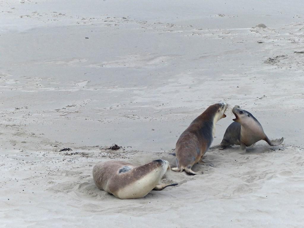 Sich anbrüllende Seelöwen an der Seal Bay