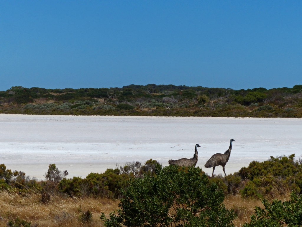 Emus im Coorong National Park